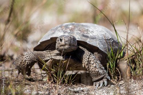 Gopher tortoise (Gopherus polyphemus), Caladesi island, Florida
