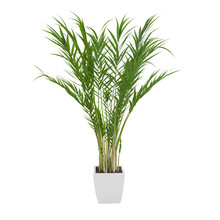 Decorative Areca Palm Tree Isolated On White Background. 3D Rendering.