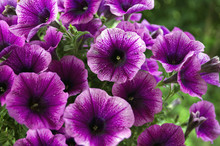 A Bed Of Purple Petunias (Petu...