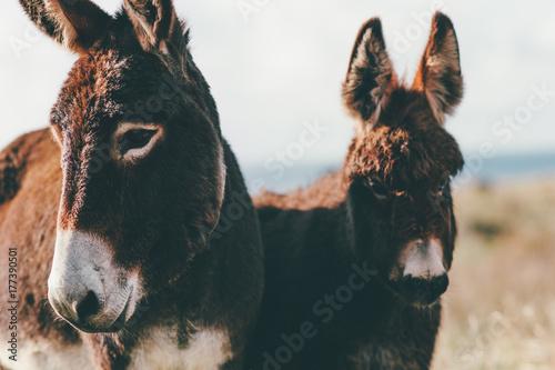 Carta da parati Donkeys Farm Animal brown colour close up cute funny pets (The donkey or ass, Eq