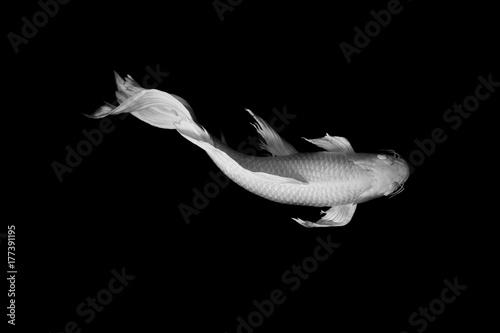 Fototapeta biały motyl koi ryb na czarnym tle ZEN sztuki spokojna koncepcja zwierząt