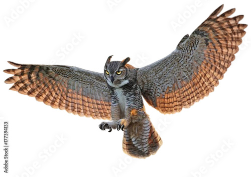 Owl swoop landing hand draw and paint color on white background illustration.