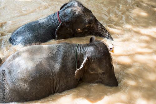 Zdjęcie XXL słonie kąpiące się w rzece