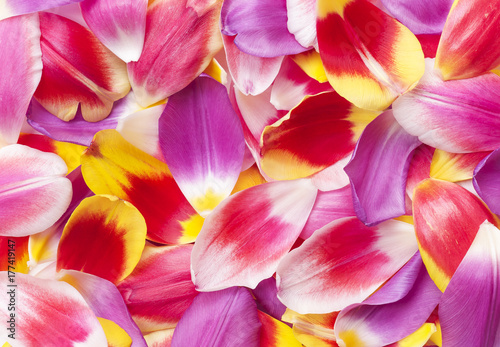 Tulip petal collection, closeup