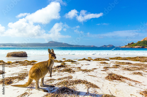 Photo sur Toile Kangaroo Lucky bay