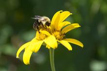 BumbleBee On Oxeye Sunflower/W...