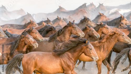 Fotomural  Horses run gallop in dust