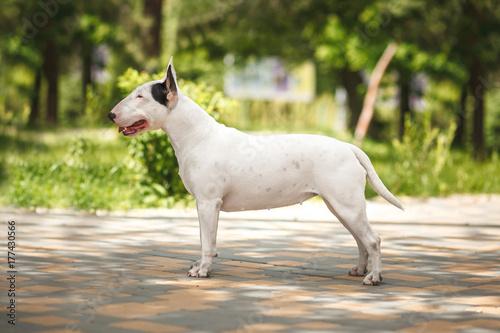 Fotografie, Tablou dog breed bull terrier