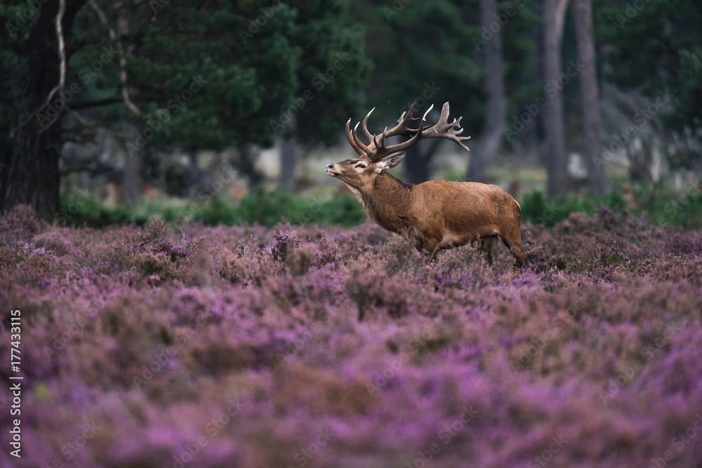 Red deer stag (cervus elaphus) in blooming heather.