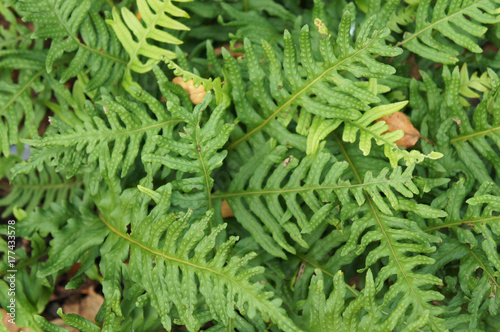 Foliage of polypodium interjectum green plant background
