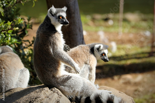 Ring-tailed lemur (lemur catta), South Africa Poster