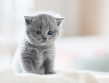 Cute Kitten On Bed. British Sh...