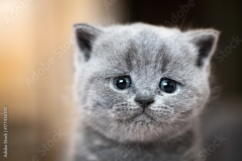 Fotografía Cute kitten portrait. British Shorthair cat