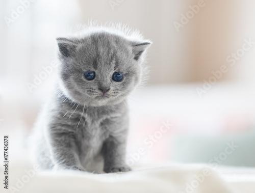 Photo Cute kitten on bed. British Shorthair