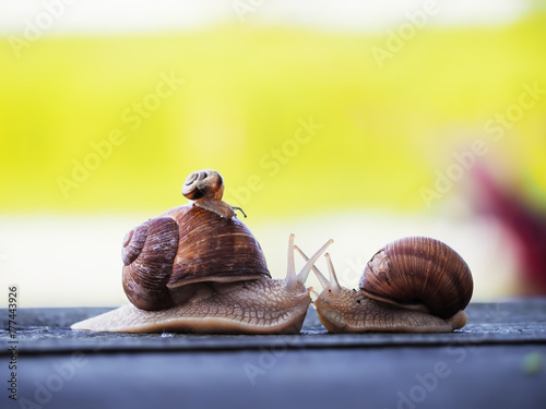 Fotografia  Snail brown at the green backgroud racing at the blue wood