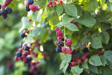 Organic Blackberries Growing I...