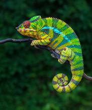 Panther Chameleon Furcifer Pardalis Ambilobe 2 Years Old Endemic From Madagascar