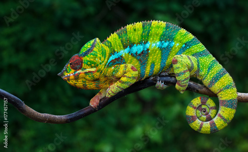 Tuinposter Kameleon Panther chameleon Furcifer pardalis Ambilobe 2 years old endemic from madagascar