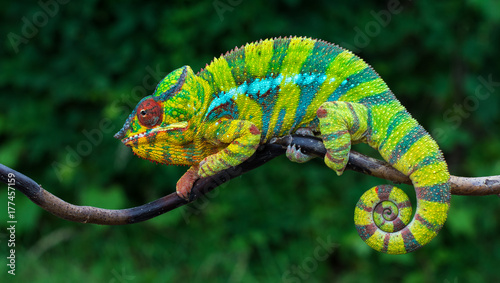 Spoed Foto op Canvas Kikker Panther chameleon Furcifer pardalis Ambilobe 2 years old endemic from madagascar