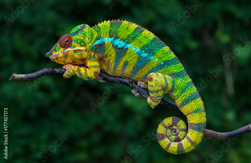 Cadres-photo bureau Cameleon Panther chameleon Furcifer pardalis Ambilobe 2 years old endemic from madagascar