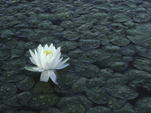 Solitary Bloom Of The Fragrant Waterlily Water Lily (Nymphaea Odorata)  After A Rainstorm In Michigan