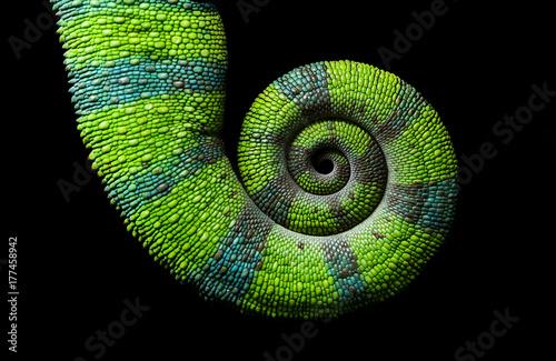 Foto op Plexiglas Kameleon Chameleon spiral tail, Panther chameleon, Furcifer pardalis Ambilobe