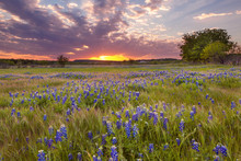 Bluebonnets Blossom Under The ...