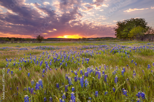 In de dag Texas Bluebonnets blossom under the painted Texas sky in Marble Falls, TX