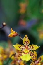 Purple Spotted, Yellow Orchid