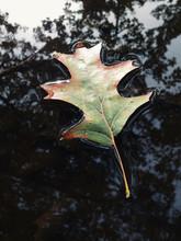 Oak Leaf In Autumn, Floating O...