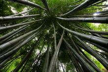 Bamboo.. View Looking Up Into The Canopy Of Tall Bamboo Stems. Wide Angle Provides Interesting Converging Line.
