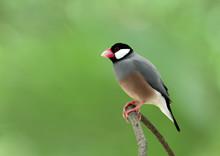 Java Sparrow (Lonchura Oryzivo...