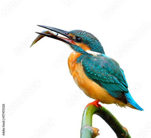 Lovely blue bird, Common Kingfisher (Alcedo atthis)  perching on bamboo stick with little fish in his mouth isolated on white background Wall mural