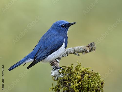 Foto op Plexiglas Vogel Superciliaris ficedula (Ultramarine Flycatcher), Beautiful blue bird perching on mossy branch over far blur green background