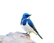 Ultramarine Flycatcher (superciliaris ficedula) beautiful blue bird perching on the rock isolated on white background, fascinated nature