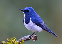 Ultramarine Flycatcher (Superc...