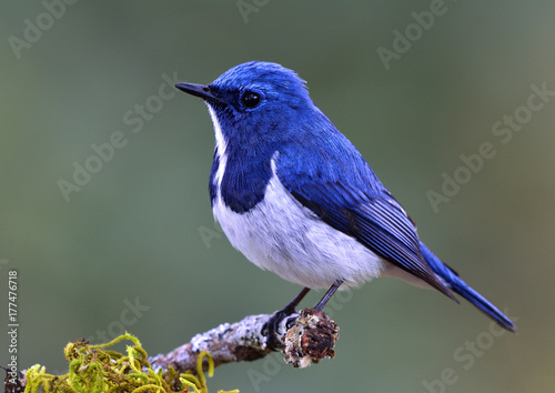 Ultramarine Flycatcher (Superciliaris ficedula) cute blue bird perching on top mossy stick over far blur green background in shaded sun lighting, amazing nature