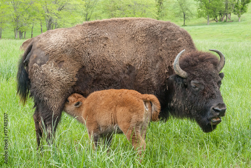 Foto op Canvas Bison Bison Cow and Calf