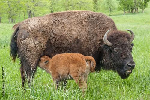 Foto op Plexiglas Bison Bison Cow and Calf