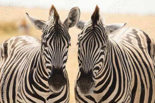 Canvas Prints Zebra Zebra twins