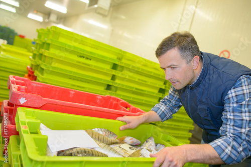Fotografie, Obraz  Man inspecting crate of fresh fish