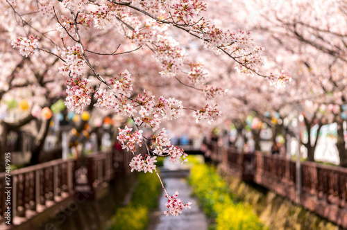 Foto op Aluminium Kersenbloesem cherry blossoms in jinhae