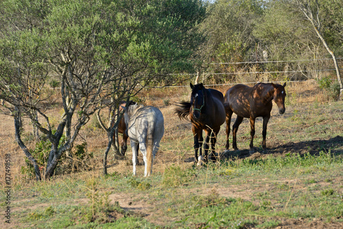 Photo group of anglo arab sardo horses grazing in a paddock