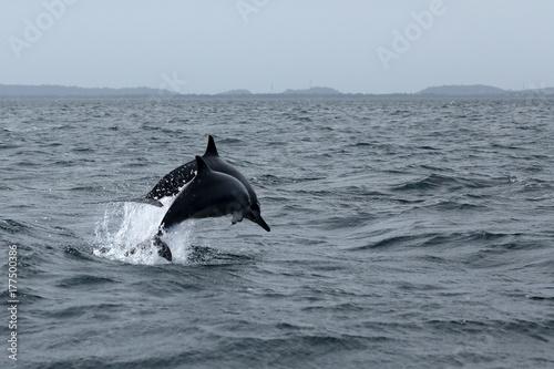 Fotografia  Delfine bei Trincomalee Sri Lanka im Indischen Ozean