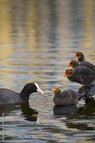 Nahaufnahme von kleinen Blässhuhn Küken bei der Fütterung im See