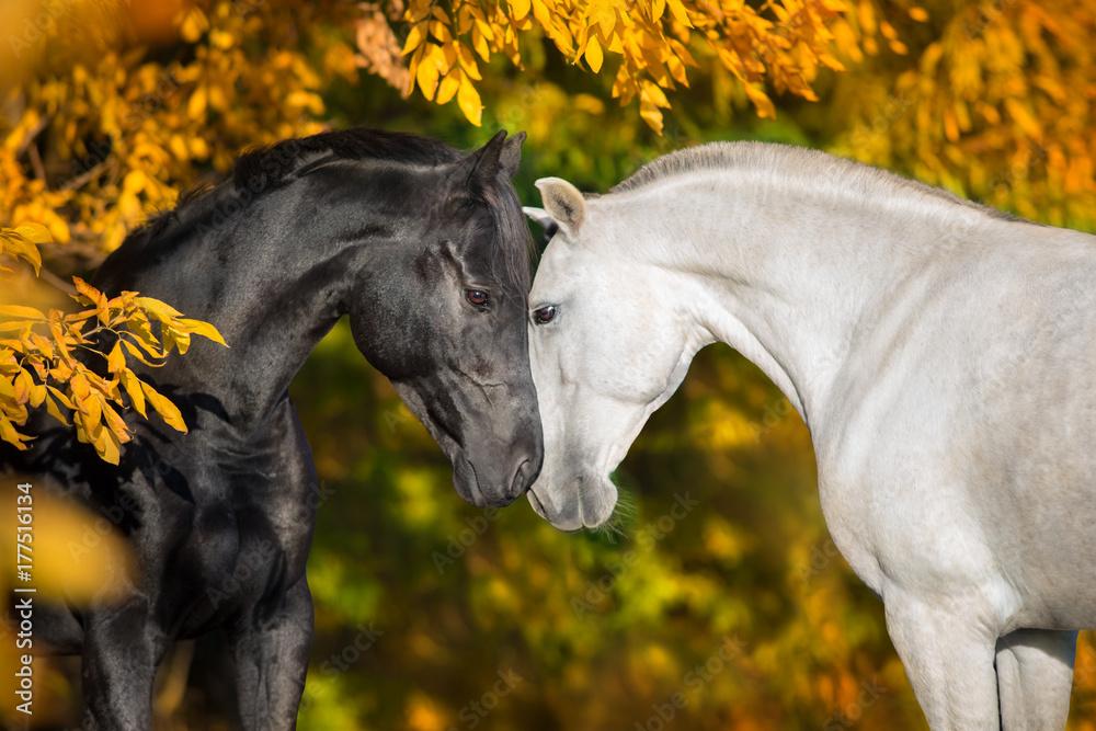White and black horses portrait on autumn landscape