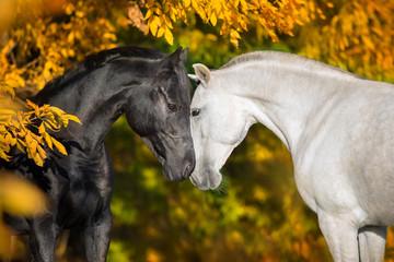 Fototapeta Koń White and black horses portrait on autumn landscape
