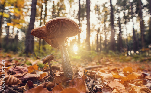 fototapeta na lodówkę gorgeous forest with mushroom at autumn