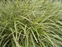 Close-up Of Miscanthus Cosmopo...