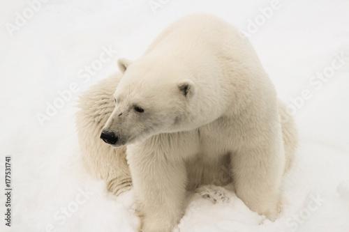 Staande foto Ijsbeer A polar bear sitting down on the sea ice